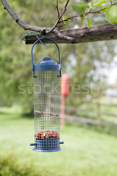 Madár kék diók akasztás faág Stock fotó © bobhackett