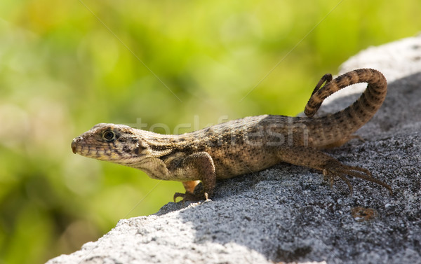 lizard in sun Stock photo © bobhackett