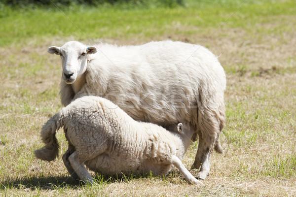 Etetés idő bárány anya birka fűmező Stock fotó © bobhackett