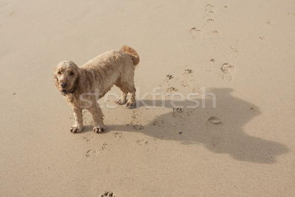 Tengerpart kutya nagy árnyék homokos tengerpart Stock fotó © bobhackett