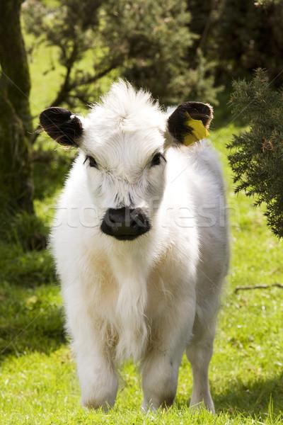 Cute jeunes regarder caméra vache vert Photo stock © bobhackett
