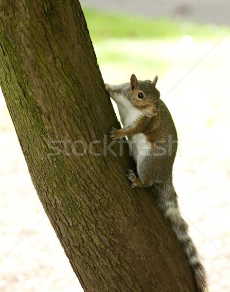 Grijs eekhoorn boomstam boom bont Stockfoto © bobhackett