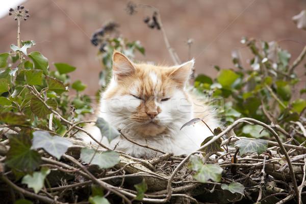 álmos macska gyömbér fehér pihen kicsi Stock fotó © bobhackett