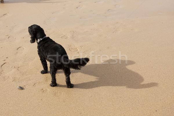 Kutya árnyék nagy homokos tengerpart Stock fotó © bobhackett