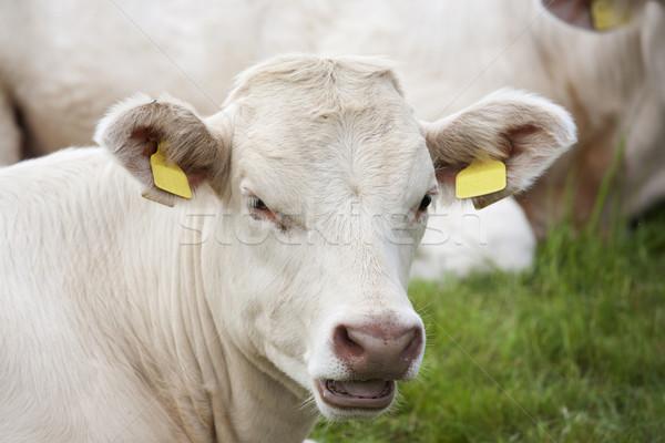 Barna tehén megnyugtató mező Stock fotó © bobhackett