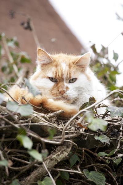 Fa macska gyömbér fehér pihen kicsi Stock fotó © bobhackett