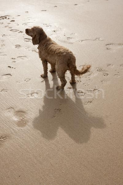 Kutyák árnyék kutya nagy homokos tengerpart Stock fotó © bobhackett