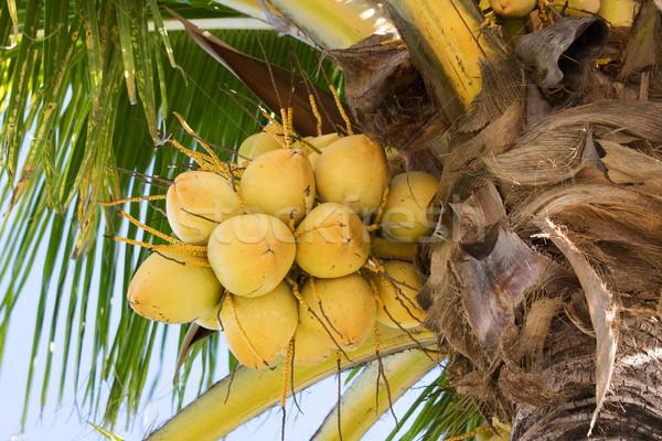 Növekvő kókuszdió citromsárga köteg pálma gyümölcs Stock fotó © bobhackett