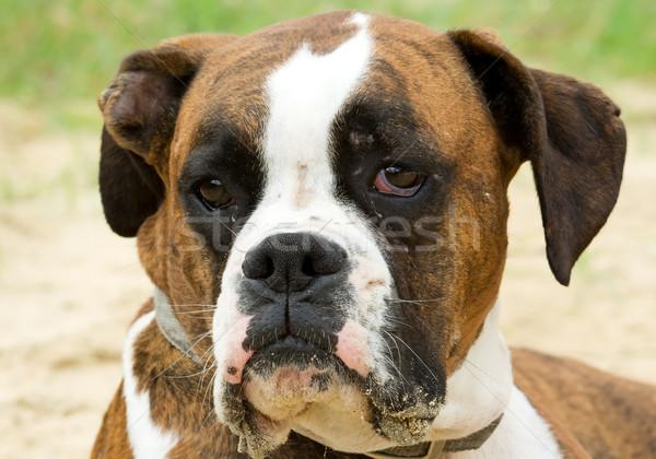 Bulldog közelkép közelkép fókusz szemek Stock fotó © bobhackett