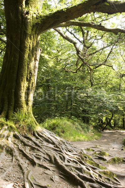 Fa gyökerek védtelen erdő út Stock fotó © bobhackett