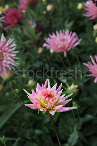 Rosa Chrysantheme scharf Bild Bereich weichen Stock foto © bobkeenan