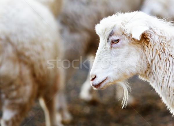 Młodych brodaty koza miękkie skupić stado Zdjęcia stock © bobkeenan