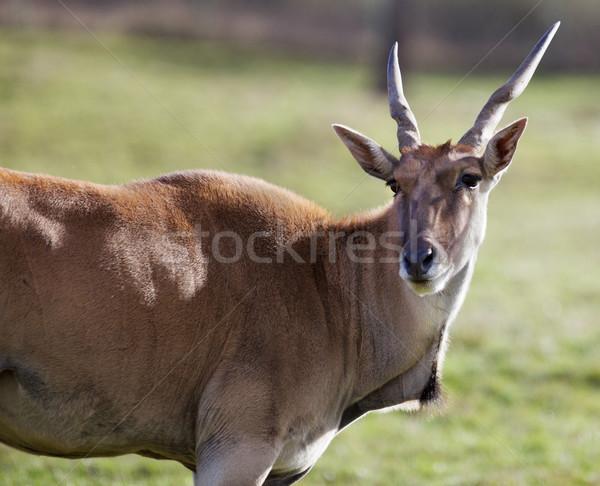 Antelope head turned Stock photo © bobkeenan