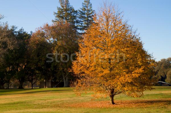 Campo de golfe ouro folha árvore cair folhas Foto stock © bobkeenan