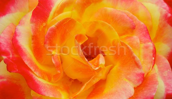 Giallo rosa arancione rosa macro Foto d'archivio © bobkeenan