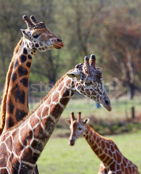 Drie giraffe familie smal giraffen Stockfoto © bobkeenan
