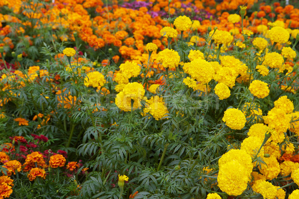 Sarı turuncu yeşil yaprakları yumuşak odak Stok fotoğraf © bobkeenan