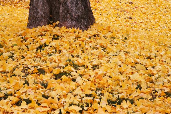 Fallen yellow ginko leaves Stock photo © bobkeenan