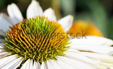 Orange green stamen white daisy macro Stock photo © bobkeenan