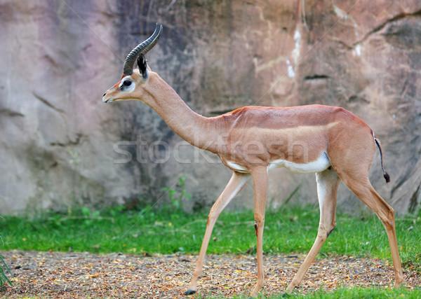 Jeunes gazelle deux soft accent pierre Photo stock © bobkeenan
