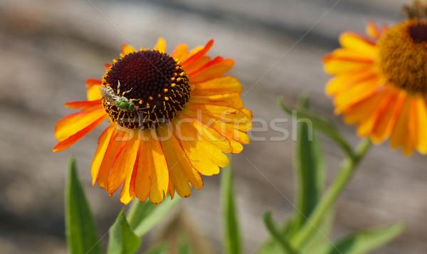 Metalen groene bee oranje kegel bloem Stockfoto © bobkeenan