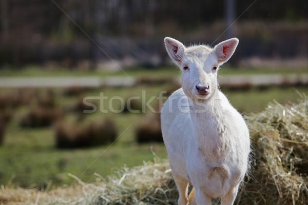 Young white fallow deer Stock photo © bobkeenan