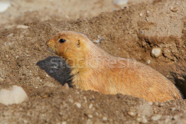 Chien trou sol cheveux animaux Photo stock © bobkeenan