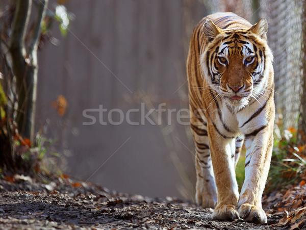 Tijger dierentuin zachte focus ogen Stockfoto © bobkeenan
