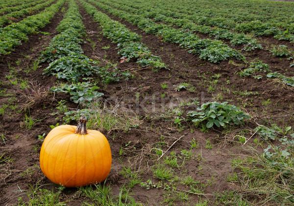 Citrouille fraise domaine orange alimentaire Photo stock © bobkeenan