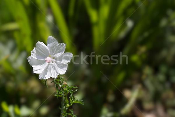 Musc blanche pétales rose centre fleur Photo stock © bobkeenan