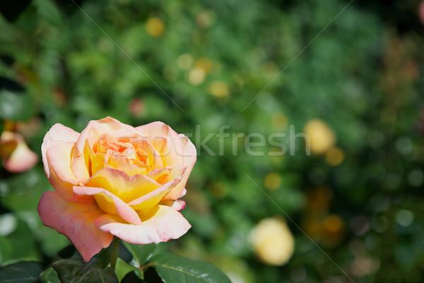 Geel Rood rose zachte groene planten bloem Stockfoto © bobkeenan