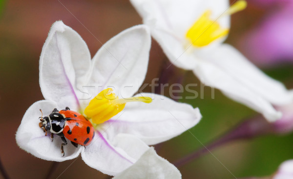 Lady bug Potato vine flower Stock photo © bobkeenan