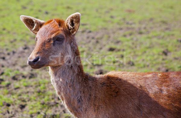 Young Red brown fallow deer Stock photo © bobkeenan