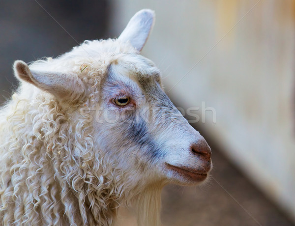 Sheeps Head Stock photo © bobkeenan