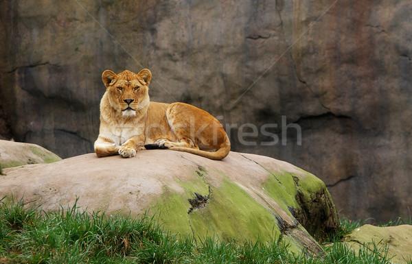Watching Lioness Stock photo © bobkeenan