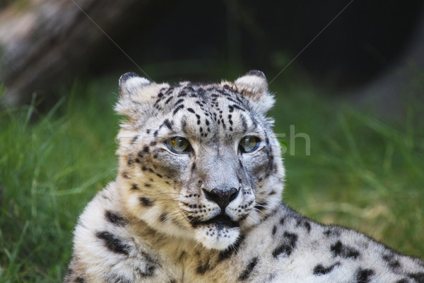 Snow leopard grass wood Stock photo © bobkeenan