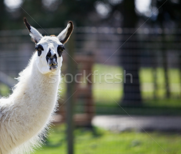 Dark spotted Llama Stock photo © bobkeenan