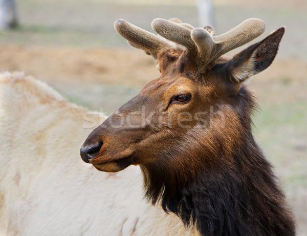 молодые голову коричневый небольшой глядя Сток-фото © bobkeenan
