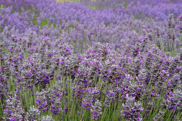Lavender Field Horizontal Far Stock photo © bobkeenan