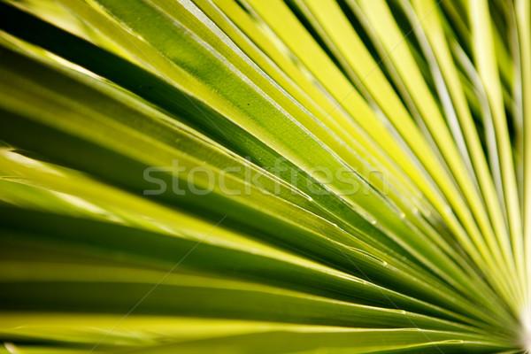 Palm frond Stock photo © bobkeenan