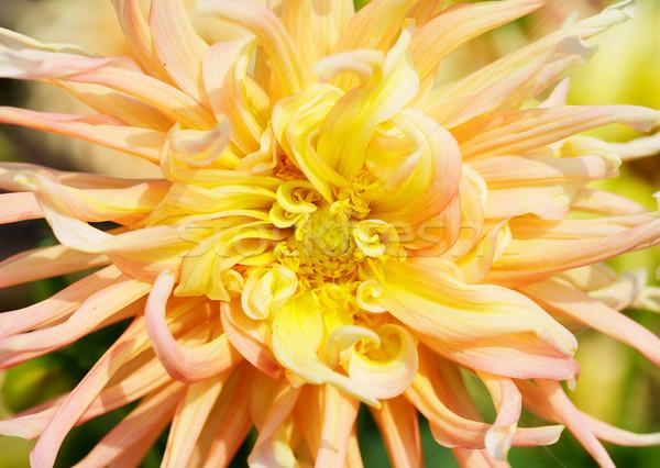 желтый георгин макроса оленей Сток-фото © bobkeenan