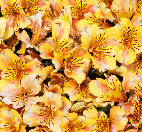 Geel groot bos boeket bloem voorjaar Stockfoto © bobkeenan