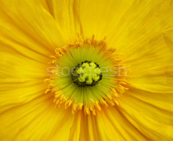 Yellow Iceland Poppy Stock photo © bobkeenan