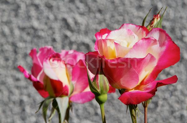 Geel rode rozen grijs verscheidene zachte focus Stockfoto © bobkeenan