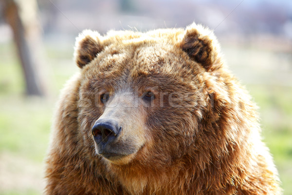 Brown Bear Head Stock photo © bobkeenan