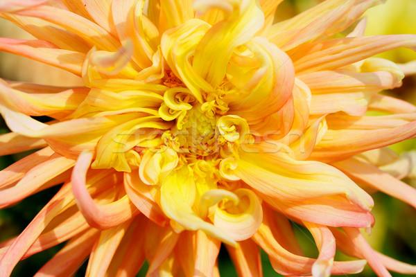 желтый георгин макроса красный Сток-фото © bobkeenan
