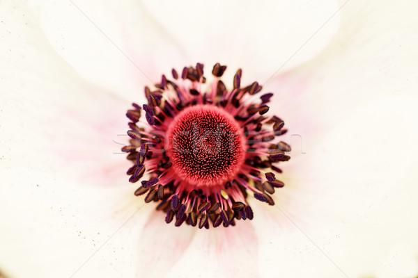 Stigma piros fehér szirom virág tavasz Stock fotó © bobkeenan