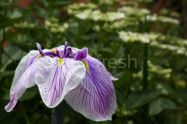 Purple and White Iris Stock photo © bobkeenan