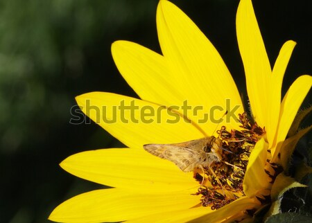 Macro Moth Sunflower Stock photo © bobkeenan
