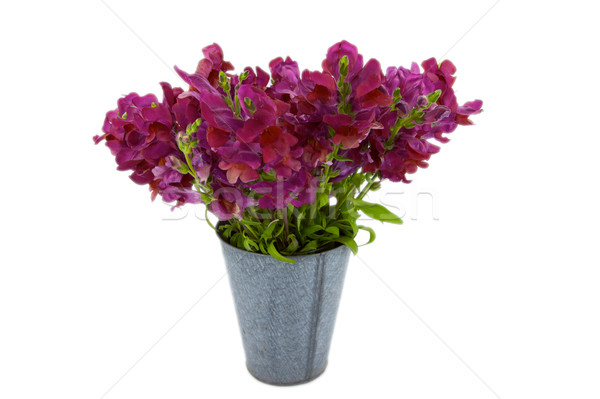 Violet Snap Dragon Bouquet in a tin bucket Stock photo © bobkeenan
